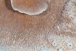BD-100925-Fury-Shoal-2433-Pachyseris-rugosa-(Lamarck.-1801)-[Serpent-coral].jpg